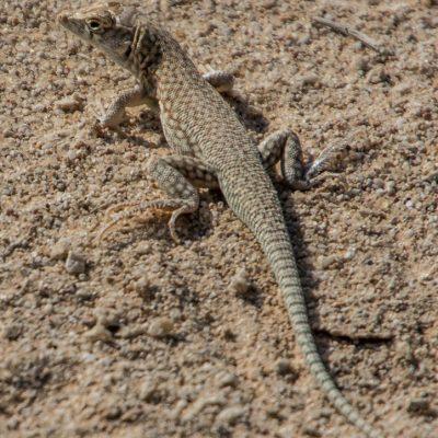 Acantodactylus schmidti (ID. not sure)