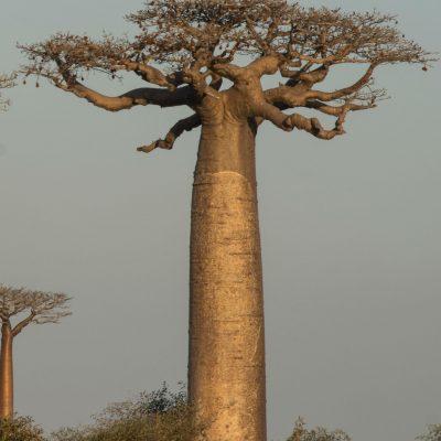 Adansonia baobab