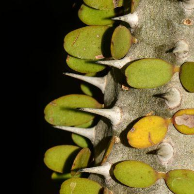 Allauaudia procea - didieraceae