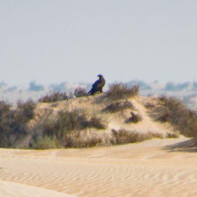 Aquila nipalensis - steppe eagle - águila esteparia