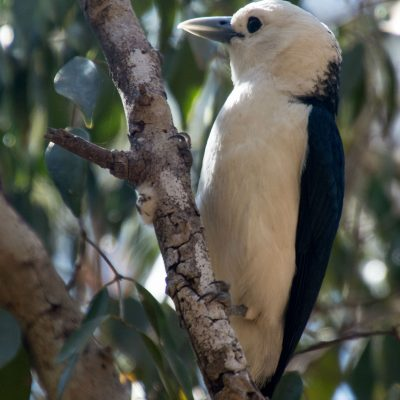 Artamella viridis - White-headed vanga