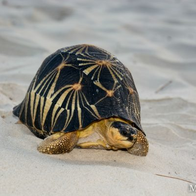 Astrochelys radiata - radiated tortoise