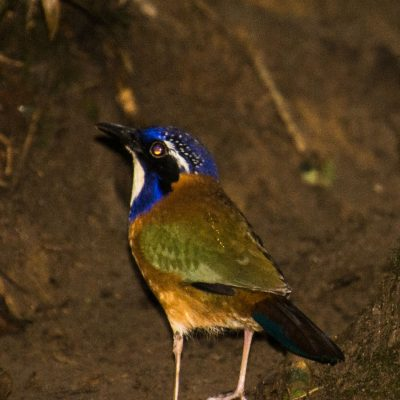 Atelornis pittoides - Pitta-like Ground-roller
