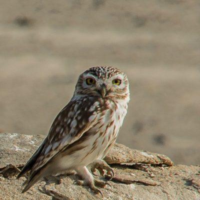 Athene noctua lilith - little owl