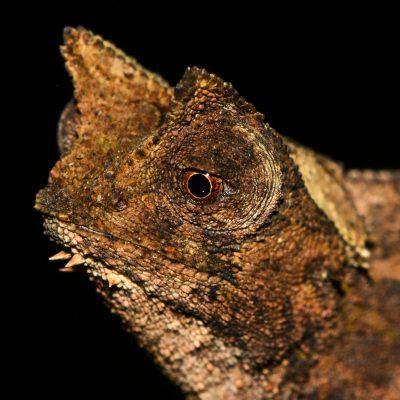 Brookesia superciliaris