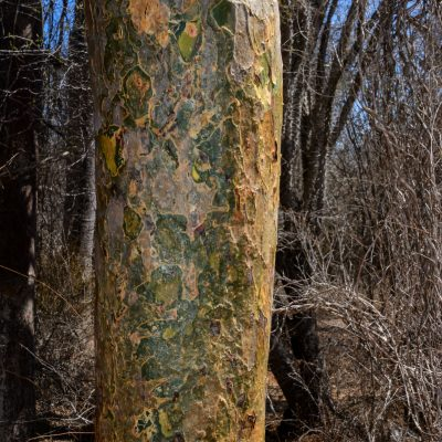 Commiphora - Vazaha tree