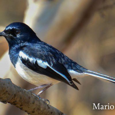 Copsychus albospecularis - Madagascan magpie-robin