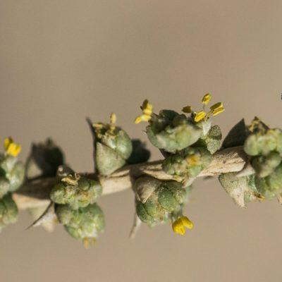 Cornulaca monacantha