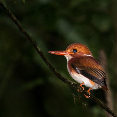 Corythornis madagascariensis -Madagascan pygmy kingfisher