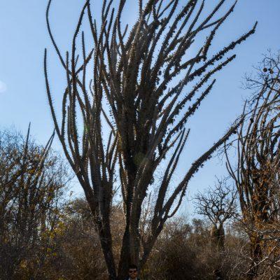 Didierea madagascariensis - octopus tree