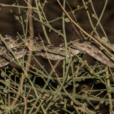 Echis carinatus sochureki