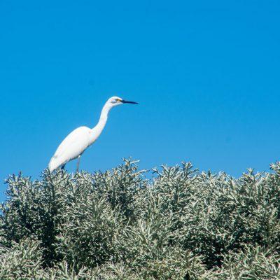 Egreta garzetta dimorpha - Little Egret - garceta dimorfa