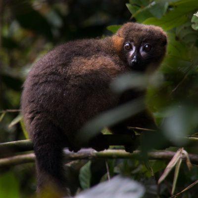 Eulemur rubriventer - macho - red-bellied lemur