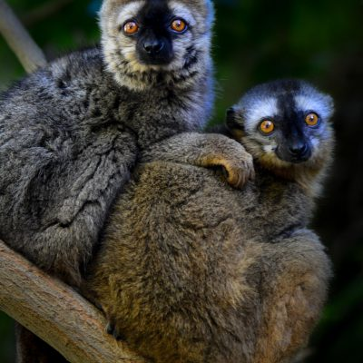 Eulemur rufifrons - red fronted brown lemur