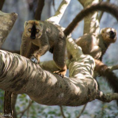 Eulemur rufifrons - Red-fronted brown lemur - lémur pardo de frente roja