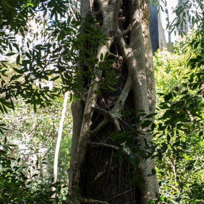 Ficus estrangulador