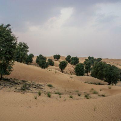ghaf forest