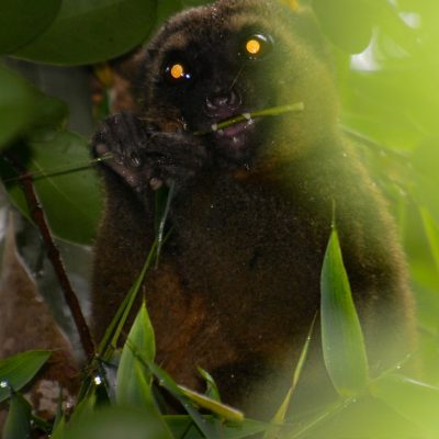 Hapalemur aureus - Golden bamboo lemur