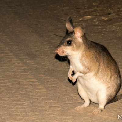 Hypogeomys antimena - Madagascar Giant Jumping Rat