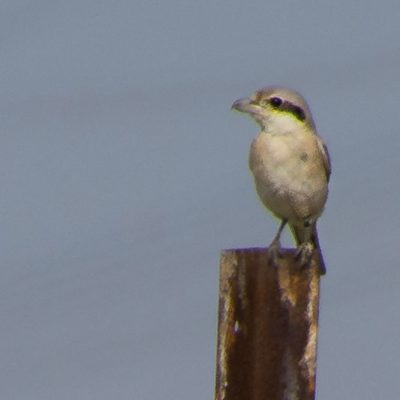 Lanius excubitor pallidirostris - Great grey shrike