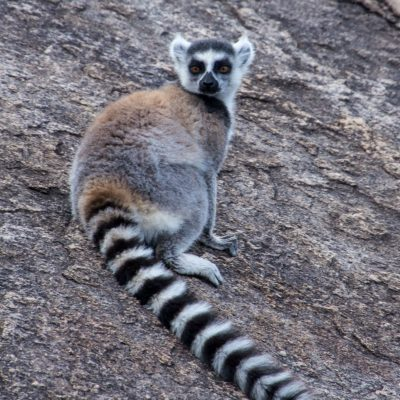 Lemur catta - ring-tailed lemur - lemur de cola anillada