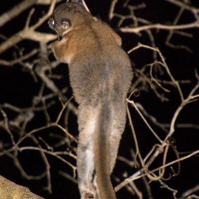 Lepilemur ruficaudatus - Red-tailed - sportive lemurlémur saltador de cola roja