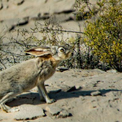 Lepus capensis