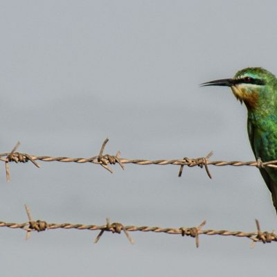Merops persica - blue-cheeked bee-eater