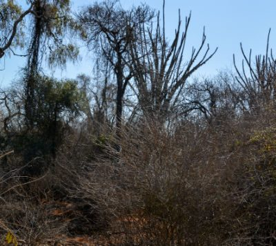 Mini avenida baobabs Reniala