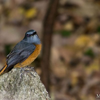 Monticola sharpei - forest rock thrush