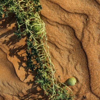 Citrullus colocynthus