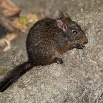 Nesomys lambertoni (Lowland Red Forest Rat)