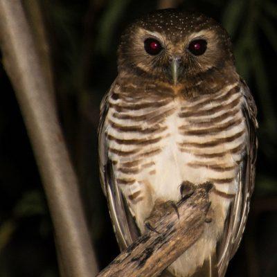Ninox superciliaris - white browed owl