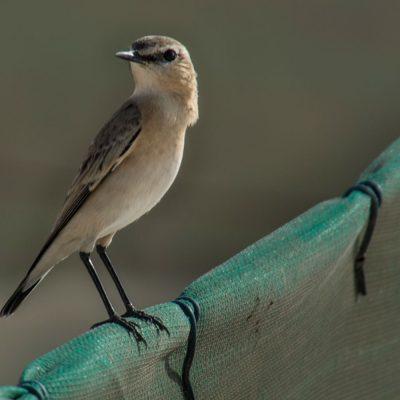 Oenanthe isabellina - Isabelline wheatear