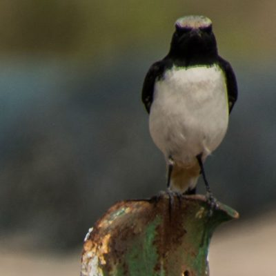 Oenanthe lugens - Mourning wheatear
