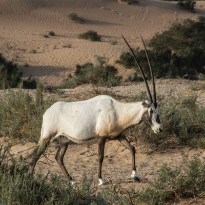 Oryx leucoryx - Arabian oryx