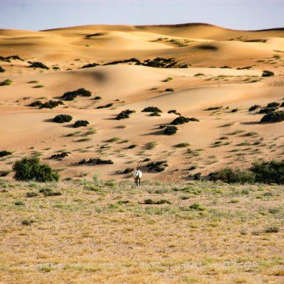 Oryx leucoryx - Arabian Oryx - Órice de Arabia