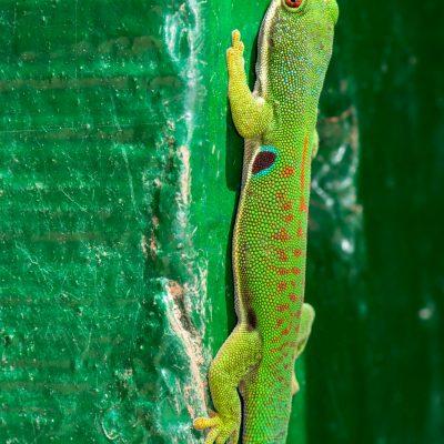 Phelsuma - mirador Ranomafana
