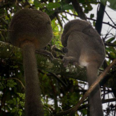 Prolemur simus - lemur gigante del bambú