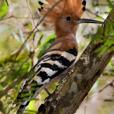 Upupa marginata - Madagascar hoopoe