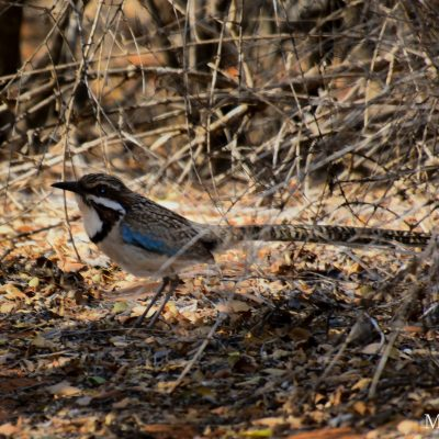 Uratelornis chimaera - Long-tailed ground roller - carraca terrestre colilarga