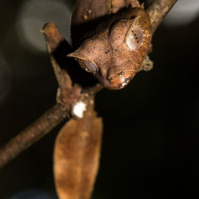 Uroplatus phantasticus - Gecko satánico con cola de hoja