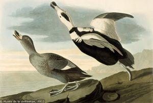 1875 Captorhynchus labradorius, pato de Labrador