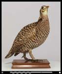 1932, Tympanuchus cupido sbsp cupido, gallo de las praderas