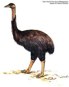 Aepyornis maximus, ave elefante de Madagascar, siglo XVII, 3,5 metros de altura,