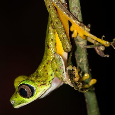 Agalychnis lemur - Costa Rica