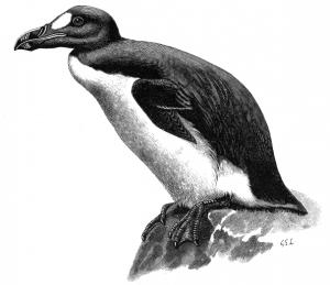 Alca impennis, alca gigante, 1844
