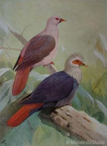 Alectroenas nitidissima, Isla de Mauricio, 1830