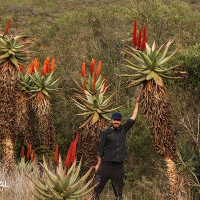 Aloe speciosa (South Africa)