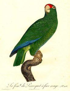 Amazona vittata gracilipes, isla de la Culebra en Puerto Rico